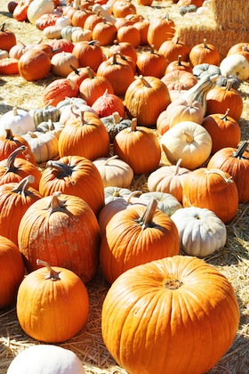 A Pumpkin Patch in october